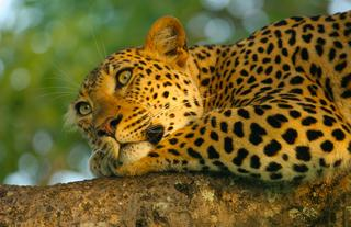 Beautiful Leopard shot taken by owner Liz Biden