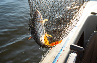 Tiger Fish Catch and Release