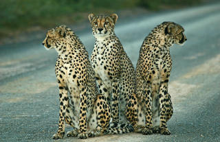 Cheetah are a common sighting in Kwandwe's lower lying plains