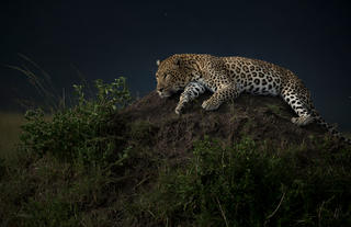 Leopards of the Mara