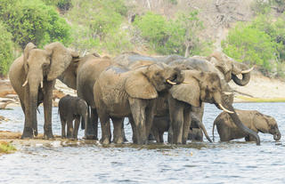Elephant on the Chobe River